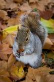 Herbst-Eichhörnchen-Essen stockbild