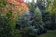 Herbst färbt Rhus typhina Staghorn-sumac Rote, orange, gelbe und grüne Blätter eines sumak und mixe Evergreens mit Blau und gre lizenzfreie stockbilder