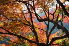 Herbst färbte Blätter und dunkle Niederlassungen von Ahornbäumen im Fall Stockfoto