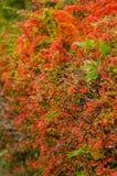 Herbst farbige Berberitzenbeerhecke Stockbilder
