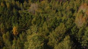 Herbst farbiger Wald mit Tannenbäumen und Birken stock footage