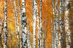 Herbst gelb gefärbter Birkenwald Stockfoto