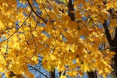 Herbst Gelbblätter, auf Hintergrund des blauen Himmels Lizenzfreies Stockbild