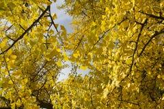 Herbst: gelbe Gingkoblätter Stockfotos