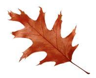 Herbst getrocknetes Blatt der Eiche Stockbild