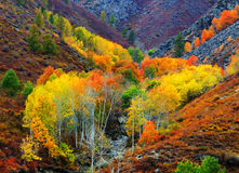 Herbst, goldene Birke, rote Birke Stockbild