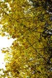 Herbst, Herbst, Blätter, Hintergrund Baumast mit Herbstahornblättern auf weißem Hintergrund Stockfoto