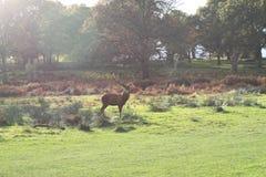 Herbst-Hirsch, Richmond-Park Lizenzfreie Stockfotografie