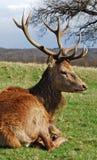 Herbst-Hirsch, Richmond-Park Lizenzfreie Stockfotos