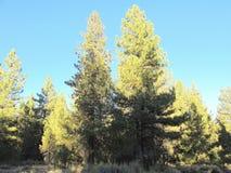 Herbst, 2017 im Big Bear See, Kalifornien: Teilnehmen am Teil eines Waldes Stockbild