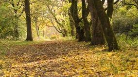 Herbst im Park mit Kastanienbäumen stock video