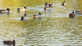 Herbst im Park, im Teich und in der Ente stock footage