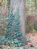 Herbst im Wald mit Baum und Efeu Stockfoto