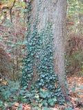 Herbst im Wald mit Baum und Efeu Lizenzfreie Stockfotografie
