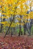 Herbst im Wald mit gelben Bäumen und gefallenen Blättern Stockbild