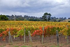 Herbst im Weinberg Stockfoto