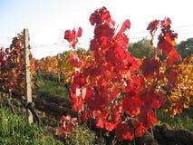 Herbst im Weinberg Lizenzfreie Stockfotografie