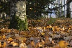 Herbst im wilden Wald lizenzfreie stockfotos