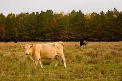 Herbst-Kühe Lizenzfreie Stockbilder