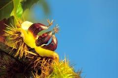 Herbst: Kastanie mit geöffnetem Shell und zwei Marienkäfern lizenzfreie stockfotografie