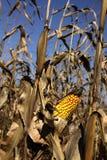 Herbst-Mais-Feld Stockbilder