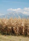 Herbst-Mais-Feld Stockfotos
