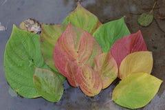 Herbst Mehrfarbiges Blattfloss auf dem Wasser Stockbilder