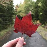 Herbst mit einem Rotahornblatt Stockfoto