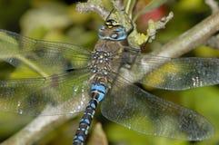 Herbst-Mosaikjungfer Dragonfly Lizenzfreie Stockfotos