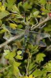Herbst-Mosaikjungfer Dragonfly Lizenzfreie Stockbilder