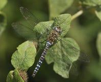 Herbst-Mosaikjungfer Dragonfly Lizenzfreie Stockfotografie