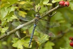 Herbst-Mosaikjungfer Dragonfly Lizenzfreies Stockbild