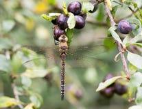 Herbst-Mosaikjungfer-Libelle (Aeshna-mixta) im Ruhezustand auf Schlehdorn Stockfotografie