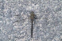 Herbst-Mosaikjungfer-Libelle, Aeshna-mixta, stehend auf steinigem Weg still Lizenzfreie Stockfotografie