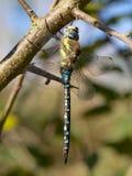 Herbst-Mosaikjungfer-Libelle in der Herbstsonne Lizenzfreies Stockbild