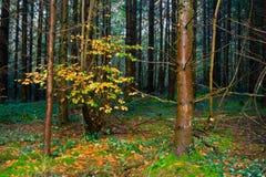 Herbst neeedle Holz Stockfotos