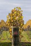 Herbst-Reben 03 Lizenzfreie Stockfotografie