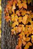 Herbst-Reben Lizenzfreies Stockfoto