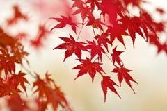 Herbst-Rotahornblätter. Lizenzfreies Stockfoto