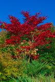 Herbst - rotes Ahornholz Lizenzfreie Stockfotografie