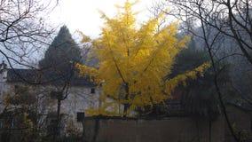Herbst in Süd-Anhui, goldene Ginkgo-Bäume lizenzfreies stockbild