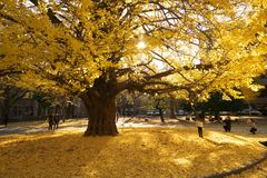 Herbst in Tokyo Die Universität von Tokyo, Japan Lizenzfreies Stockfoto
