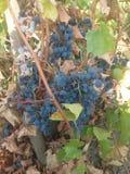 Herbst trägt Trauben Früchte Lizenzfreie Stockfotografie