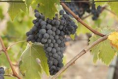 Herbst-Trauben-Ernte in Toskana lizenzfreie stockfotografie