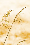 Herbst-trockenes Gras stockfotos