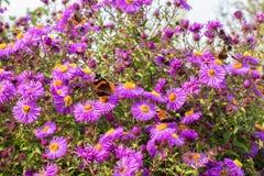 Herbst und Schmetterlinge Astra Stockfoto