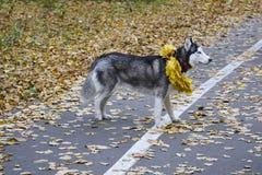 Herbst Weg im Wald mit einem Haustier lizenzfreie stockbilder