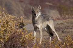 Herbst-Wolf fullview Stockfotos