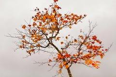 Herbstahorn. Stockfotos