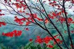 Herbstahorn. Lizenzfreies Stockbild